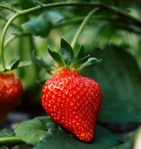 Fraise en permaculture et fruits biologiques